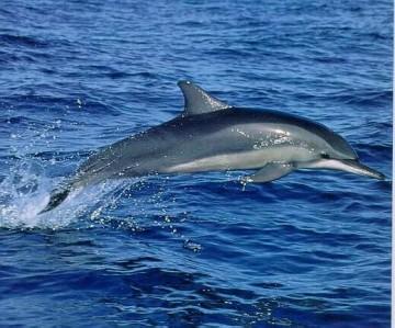 dauphins Medium_Dauphin