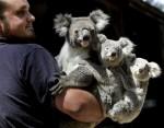 medium_koalas.2.jpg