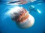 meduse-geante-1_82_w460.jpg