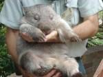 Wombat 2.jpg
