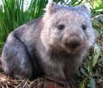wombat-large_jpg-300x257.jpg