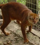 espece-menacee-un-chat-sauvage-extremement-rare-repere-a-borneo-illustration-credit-photo-jim-sanderson_23426_w250.jpg