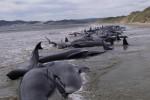 107-baleines-mortes-echouees-en-Nouvelle-Zelande_scalewidth_630.jpg