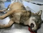 Loup mort 2.JPG
