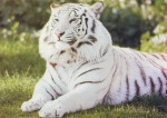 Tigre blanc.jpg