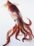 etrange,nature,insolite,calamar,ouie,découverte