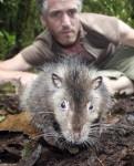 le-rat-laineux-du-bosavi-peut-mesurer-jusuq-a-82-centimetres-du-bout-du-museau-a-la-pointe-de-sa-queue_6827_w560.jpg